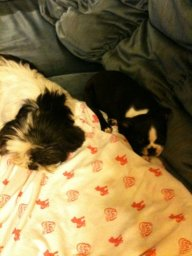 Gert as a puppy lying by Gabby.